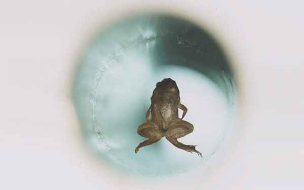 Frog under magnetic levitation | Goudsmit Magnetics